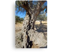 An old Olive tree Metal Print