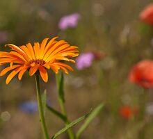 orange yellow marigold by stresskiller