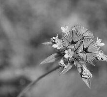 black en white flower by stresskiller