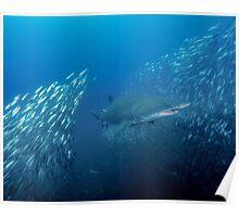 Sand Tiger Shark Bursts Through a School of Minnows Poster