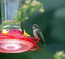 Perched Hummingbird by Susan S. Kline