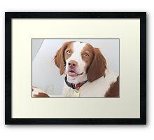Brittany Spaniel 1 Framed Print