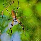 Silk Spider.. by buddybetsy