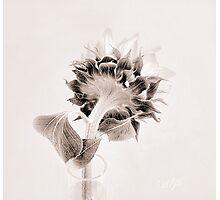 Portrait of a Sunflower  Photographic Print