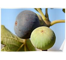 fruit and leaves of a fig tree Poster