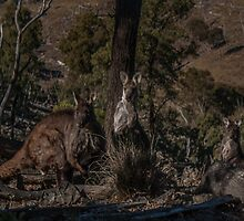 Old Man Wallaby and his Family by Deborah McGrath
