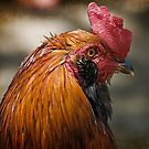 The Rooster by TJ Baccari Photography