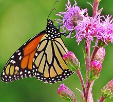 Monarch on Liatris by lorilee