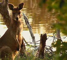 Lone Kangaroo at The Wetlands by myraj