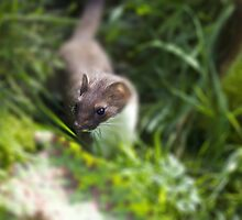 stoat by Brett Watson Stand By Me  Ethiopia