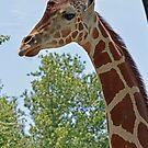 Giraffe from below by Cody  VanDyke