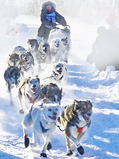 Yukon Quest start 2009 in Whitehorse, Yukon by Yukondick