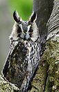 Long Eared Owl  by David Carton