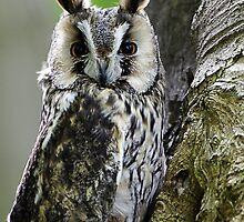 Long Eared Owl  by buttonpresser
