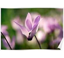 Cyclamen persicum Persian Violets, Israel Spring March  Poster