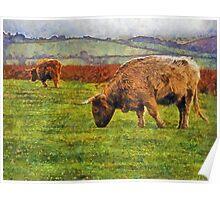 Highland cattle, Dartmoor, UK Poster