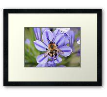 Bumble Bee on Allium Framed Print