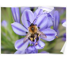 Bumble Bee on Allium Poster