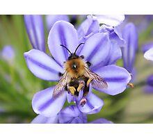 Bumble Bee on Allium Photographic Print