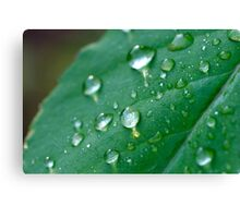water droplets on a leaf in spring  Canvas Print