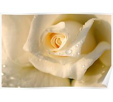 Close up of a beautiful and perfect white rose Poster