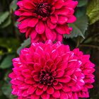 Delightful Dahlias  by vivsworld