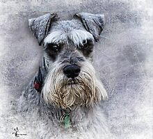 Serious Schnauzer by Amar-Images