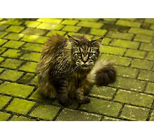 Wild Cat in Kraków (Poland) - Animal Photography Photographic Print