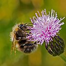 Bumble Bee on Thistle Head by DonMc