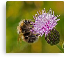 Bumble Bee on Thistle Head Canvas Print