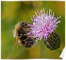 Bumble Bee on Thistle Head Poster