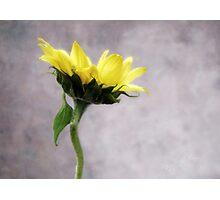 Sunflower #1 Photographic Print