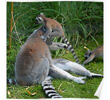Baby Lemurs pouncing on parents - Photography Poster