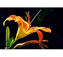 Day Lily - June 2014 Photographic Print