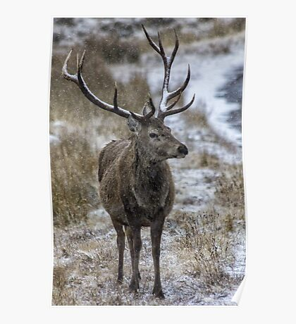 Twelve Point Stag in the Snow Poster