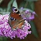 Peacock Butterfly. by John (Mike)  Dobson