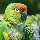Nanday Parakeet by Dominika Aniola
