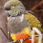 Patagonian Conure by Dominika Aniola