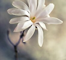 White star magnolia by JBlaminsky