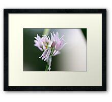 Chive Flower Framed Print