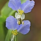 Asiatic Dayflower Wildflower - Commelina communis by MotherNature