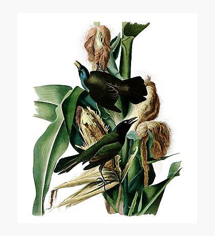 Purple Grakle or Common Crow Blackbird. Photographic Print