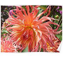 Peach-colored Dahlia Poster