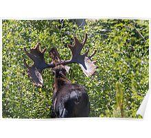 Big Moose Rack in RMNP Poster