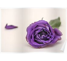 Cutout of a Purple rose on white background Poster