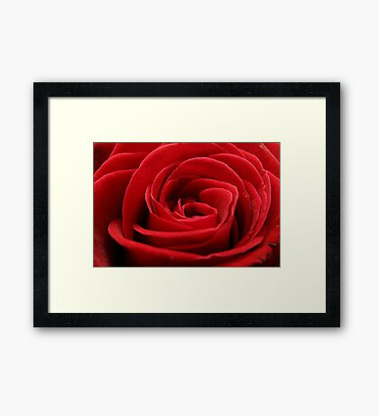 Close up of a beautiful red rose Framed Print