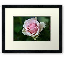 Pink Rose Framed Print