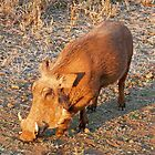 Warthog, Kruger National Park, South Africa by Margaret  Hyde
