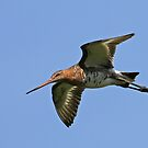 Black-tailed Godwit by Robert Abraham