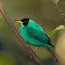 Green Honeycreeper - Costa Rica by Jim Cumming